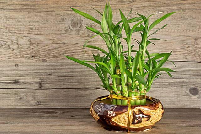 cây phong thủy mang may mắn vào nhà