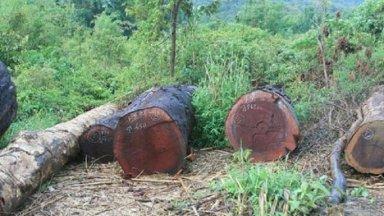 Gỗ gụ là gì? Gỗ gụ có tốt không? Ứng dụng và ưu nhược điểm của gỗ gụ