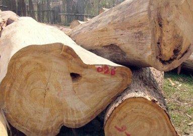 Tìm hiểu gỗ pơ mu là gì? Đặc điểm ứng dụng và cách nhận biết